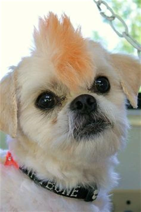 shih tzu mohawk haircut 1000 images about i really shih tzus on shih tzu shih tzu puppy