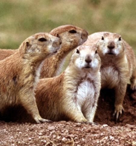 dogs in national parks update sylvatic plague and tularemia afflict prairie dogs in badlands national park