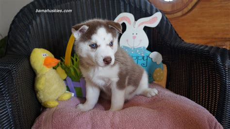 husky puppies for sale in ms s easter husky puppy pics siberian husky puppies for sale