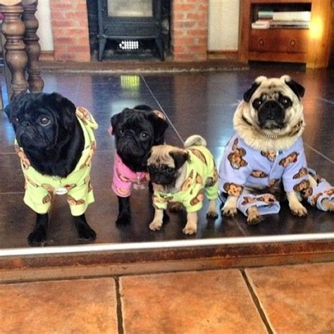 pajamas for pugs pajama pug and pajamas on