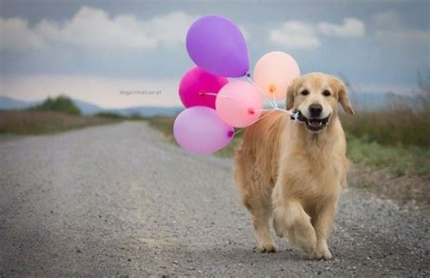 golden retriever happy birthday images pin by virginia pon on fauna
