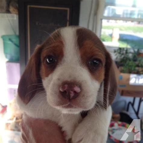 beagle puppies for sale in virginia adorable beagle puppies for sale in smithfield virginia classified