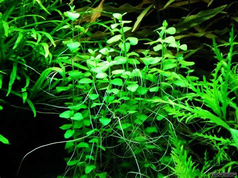 houseplant vine clinopodium cf brownei flowgrow aquatic plant database