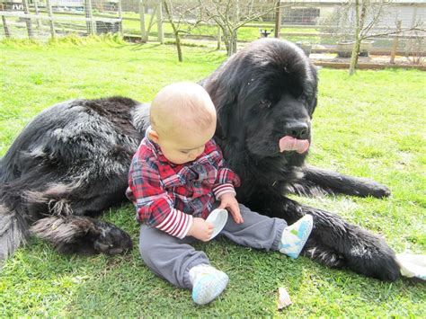 short haired newfoundland dogs dog breed newfoundland pictures breed dogs spinningpetsyarn