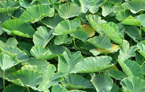 Tropical Edible Plants - ornamental and edible plants for tropical climate colocasia