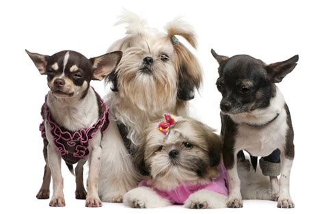 tiny breeds that stay small top 10 breeds that stay small