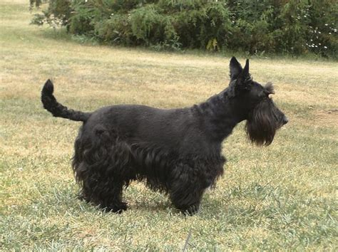 Do Scottish Terriers Shed by Scottish Breeds Scottish Terrier Breed