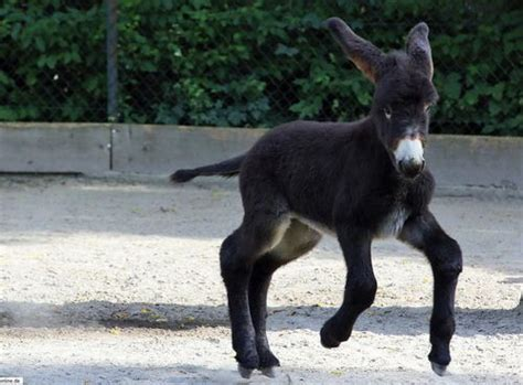 miracle of the century a baby donkey comes out of womb poitou donkey foal delights visitors at zoo heidelberg