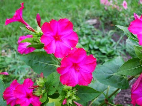 flower homes four o clock flowers