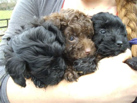 black and brown yorkie yorkie poo puppy s black and brown waterlooville hshire pets4homes