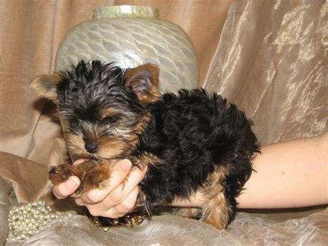 adopt a baby yorkie baby yorkie puppies free for adoption albury dogs for sale puppies for sale
