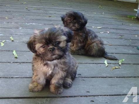colors of shih tzu dogs shih tzu puppies color precious for sale in east farms washington
