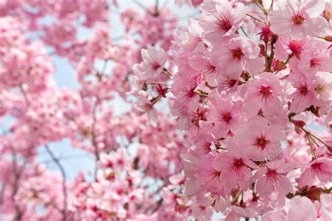 sfondi fiori di pesco fiori di pesco foto stock 169 olgysha 24030403
