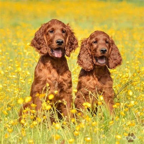 setter dog family 17 best images about red setters on pinterest irish