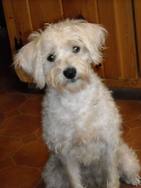 schnoodle puppies rescue schnoodle puppy newhairstylesformen2014