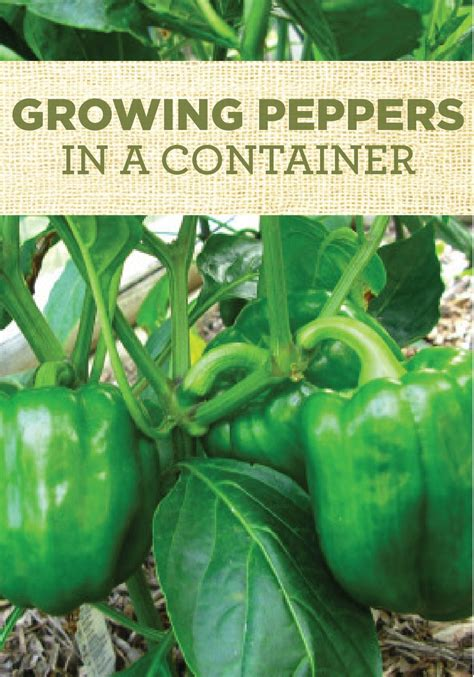 growing peppers   container vegetable garden