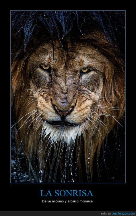 imagenes de leones viejos 161 cu 225 nta raz 243 n un viejo le 243 n sale del agua