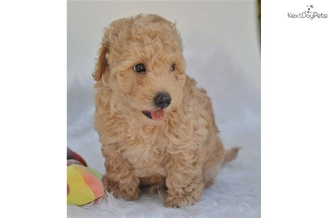 mini goldendoodles florida miniature goldendoodle hold goldendoodle for sale
