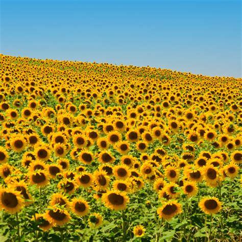 kansas sunflower 50 state flowers 1 pinterest a to z the usa kansas state flower