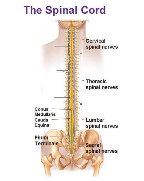 the vertebrae the spinal cord and the reflex arc anjung