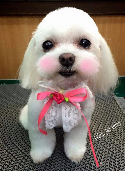 how to give my maltese yorky a haircut 17 best images about grooming on pinterest poodles