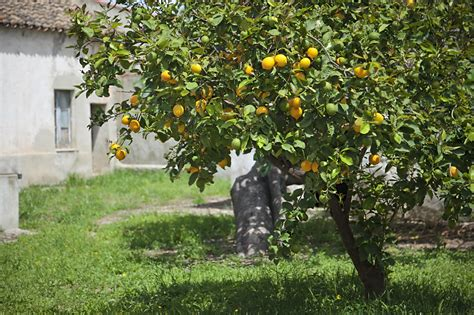 new year citrus tree a guide to fertilizer fast growing trees