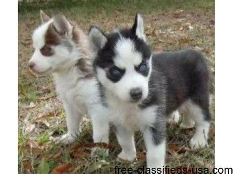 free puppies portland oregon siberian husky puppies for adoption animals portland oregon announcement