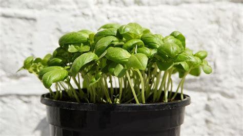 basilico coltivazione in vaso la coltivazione basilico orto sul balcone coltivare