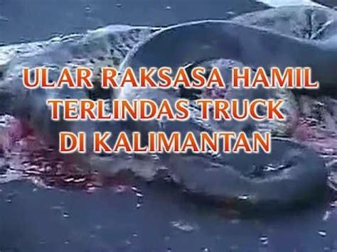 download film legenda ular putih ular raksasa hamil terlindas truck di kalimantan quot ratusan