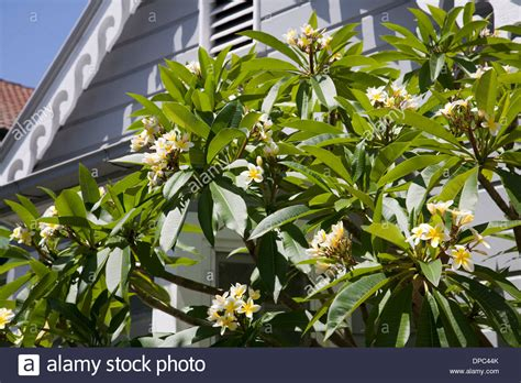 plumeria photos plumeria tree stock photos plumeria tree stock images