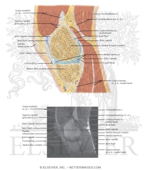 knee cross section cross section of the knee sagittal view