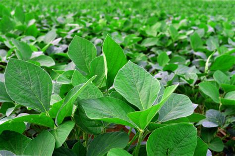 Kedelai Green Soya Gold free soy beans plant 12 stock photo freeimages
