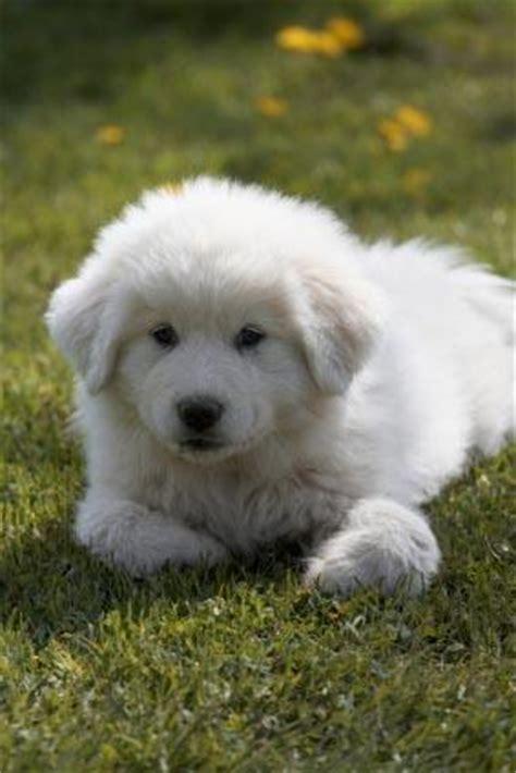 great pyrenees puppies great pyrenees puppies lovetoknow