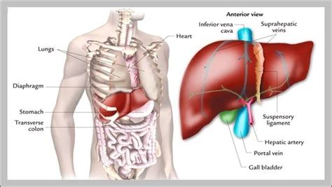 where is human liver located diagram picture of human with liver image collections how