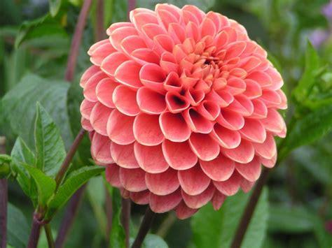 la flor de dalia laberinto flores de la dalia hd fotoswiki net