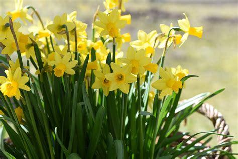fiori a primavera immagini erba prato fiore giallo flora