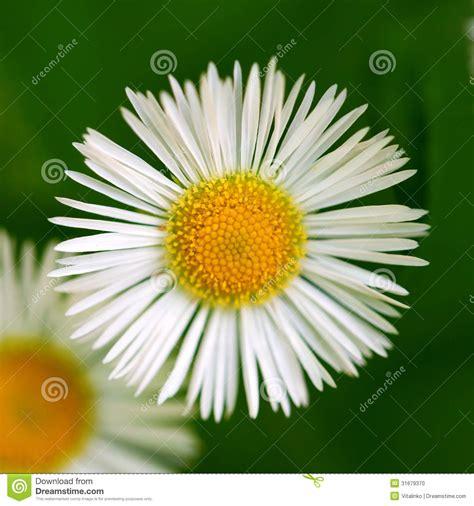 fiore della camomilla macro fiore della camomilla margherita fotografia
