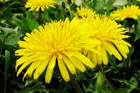 how to kill dandelions with vinegar hunker