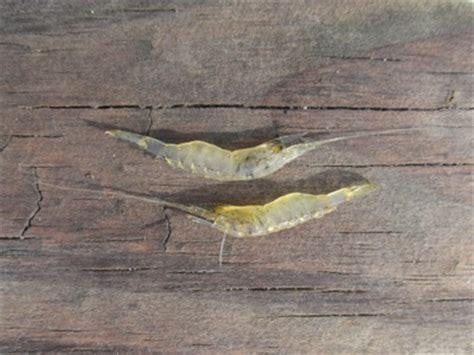 grass shrimp baits virginia saltwater fishing