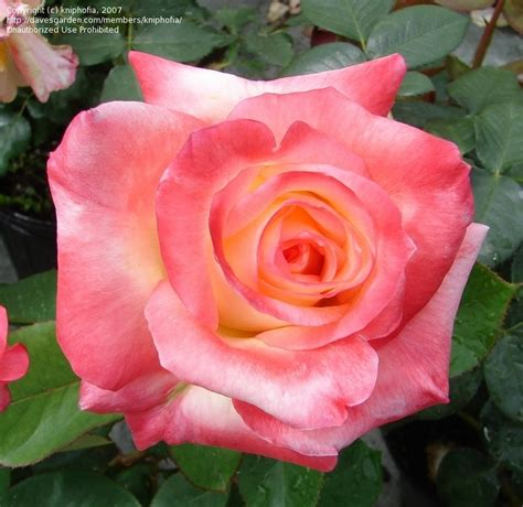 princess diana rose plantfiles pictures hybrid tea rose diana princess of
