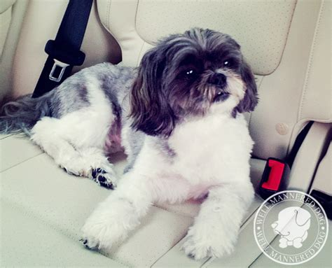 shih tzu housebreaking problems our clients say e well mannered charleston sc