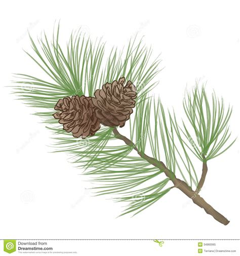 pine cone clipart clipart suggest