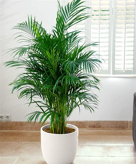 buy house plants buy house plants now air so pure 174 areca palm bakker com