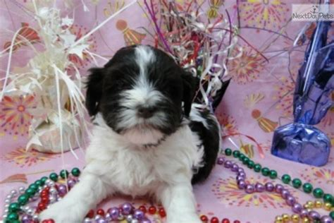 curly havanese puppies curly akc registered jacokennel havanese puppy for sale near tulsa oklahoma