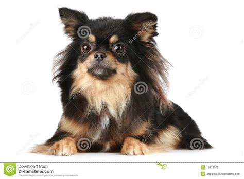 long hair chihuahua hair growth what to expect langharige chihuahua stock fotografie afbeelding 16976572