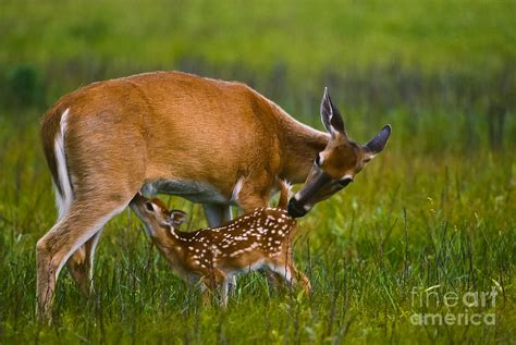 fawn images whitetail fawn nursing photograph by joe elliott