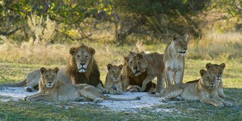 imagenes manada leones el le 243 n el rey de la selva taringa