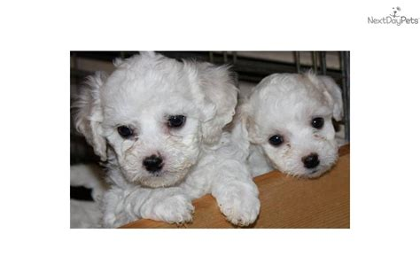 bichon frise puppies for sale in michigan bichon frise puppy for sale near detroit metro michigan 242af9c8 c7c1