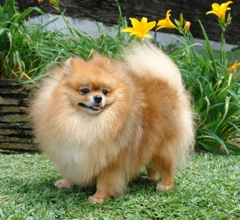 pic of pomeranian pictures of pomeranian dogs and puppies pets world