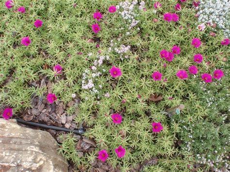 fiori annuali portulaca portulaca oleracea piante annuali